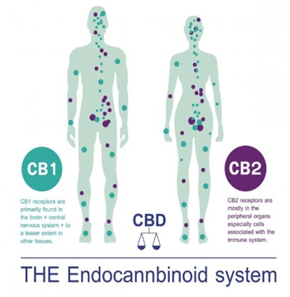 The Endocannbinoid System